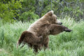 Brown Bear scratching Stock Photography