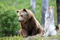 Brown bear sitting looking to side Stock Image