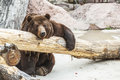 Brown bear sitting near fallen tree Stock Photography
