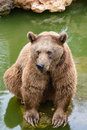 Brown bear sitting on the rock rainy day near pool Royalty Free Stock Image
