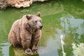 Brown bear sitting on the rock rainy day near pool Stock Photos