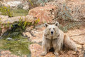 Brown bear sitting on the rock rainy day near pool Stock Image