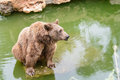 Brown bear sitting on the rock rainy day near pool Royalty Free Stock Photos