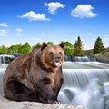 Brown bear sitting at the waterfall Stock Image