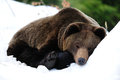Brown bear are sleep in snow Royalty Free Stock Photo