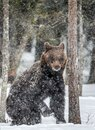 Brown bear standing on his hind legs on the snow in the winter forest.