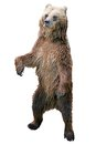 Brown bear standing Royalty Free Stock Photo