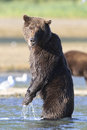 Brown bear standing looking at photographer and for fish Royalty Free Stock Photos