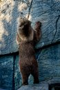Brown bear standing at the rock Royalty Free Stock Photography