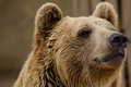 Brown bear staring distance Stock Photo