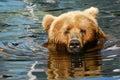 Brown bear swimming Royalty Free Stock Image