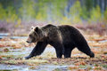 Brown bear in the taiga Royalty Free Stock Photo