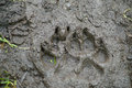 Brown bear track in mud on hiking trail in alaska Stock Image