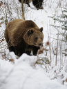 Brown Bear ( Ursus arctos ) Stock Photo