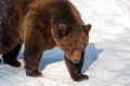 Brown Bear (Ursus arctos) Royalty Free Stock Photography