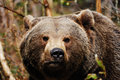 Brown Bear (Ursus arctos) Stock Image