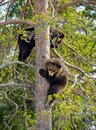 Brown Bear Ursus arctos cubs having scented danger and got on a Pine tree. Spring forest