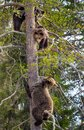 Brown Bear Ursus arctos. She-bear and Bear-cubs having scented danger, got on a Pine tree. Spring forest