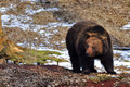 Brown bear ursus arctos europe Royalty Free Stock Images