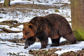 Brown bear ursus arctos europe Royalty Free Stock Photography