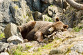 Brown bear ursus arctos or the here resting on moose antlers in rocky terrain Royalty Free Stock Image