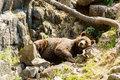Brown bear ursus arctos or the here resting on moose antlers in rocky terrain Stock Images