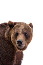 Brown bear ursus arctos isolated on white background Stock Photo