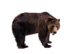 Brown bear ursus arctos isolated on white background Royalty Free Stock Images