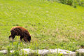 Brown bear walking in field Stock Photo