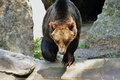 Brown bear walking in search for food Royalty Free Stock Images