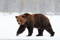 Brown bear walking in the snow Royalty Free Stock Photo