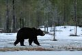 Brown bear walking on the snow in spring Royalty Free Stock Photography
