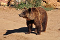 Brown bear wild animal mammal in natural environment Stock Photography