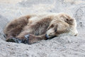 Brown bear in the wild laying down Stock Photo