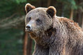 Brown bears in the carpathians ukraine Royalty Free Stock Photography