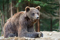 Brown bears in the carpathians ukraine Stock Photo