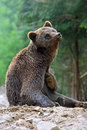 Brown bears in the carpathians ukraine Stock Photography