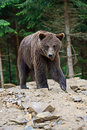 Brown bears in the carpathians ukraine Royalty Free Stock Image
