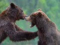Brown bears in the carpathians ukraine Stock Images