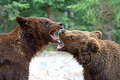 Brown bears in the carpathians ukraine Stock Photos