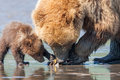 Brown bears clamming adult female alaskan coastal bear digging for clams with young first year cub Stock Image