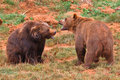 Brown bears fighting Royalty Free Stock Image