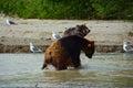 Brown bears fighting in water