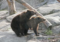 Brown bears spring instinct marriage playing of in the Stock Image