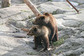 Brown bears spring instinct marriage playing of in the Stock Photography