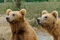 Brown bears Royalty Free Stock Photo