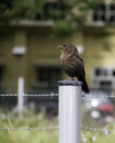 Brown bird juvenile standing on one leg on a fence post Royalty Free Stock Image