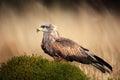 Brown bird of prey black kite milvus migrans on moss hillock in march germany Stock Image
