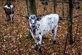 Čiernobiely kravy pokles jeseň