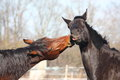 Brown and black horses playing Royalty Free Stock Photo